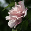 Rose of Sharon (taken on 7/25/14)