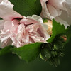 Rose of Sharon after the rain (taken on 7/26/14)